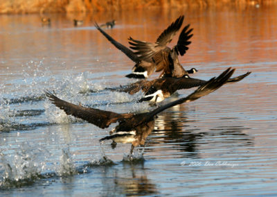 Canadian-Geese-Running-on-Water-#-27
