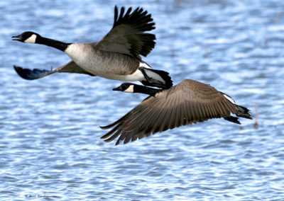 Canadian-Geese-Taking-Off-379