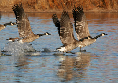 Canadian-Geese-Taking-Off-side-view-Nature-Center-100