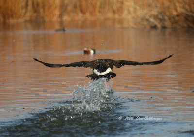 Canadian-Goose-Running-on-Water-#-31