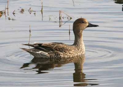 Female-Northern-Pintail-314