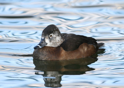 Female-Ringnecked-Duck-136