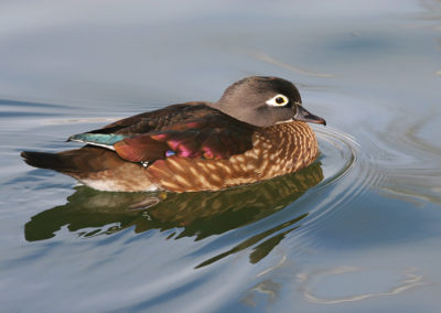 Female-Wood-Duck_0080