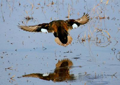 Gadwall-Duck-Landing-215