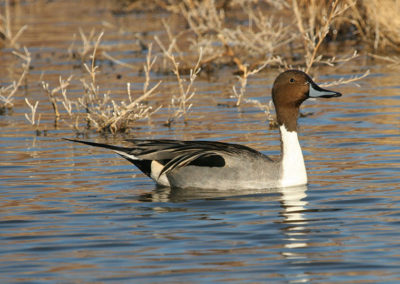 Male-Northern-Pintail_7926