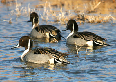 Male-Northern-Pintails_7921