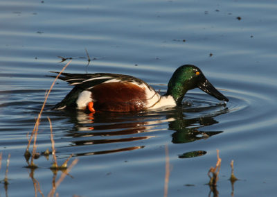 Male-Northern-Shoveler-042