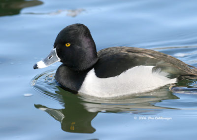 Male Ringnecked-Duck-113