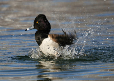 Male-Ringnecked-Duck-Taking-a-Bath-163