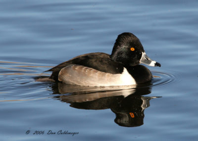 Ring-necked-Duck