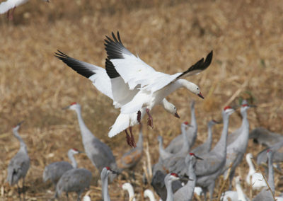 Snow-Geese-&-Sandhill-Cranes-088