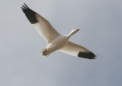 Snow-Goose-Bosque-del-Apache-NM-270