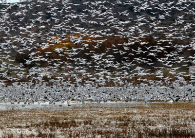 Thousands-of-Snow-Geese-Landing-Bosque-del-Apache