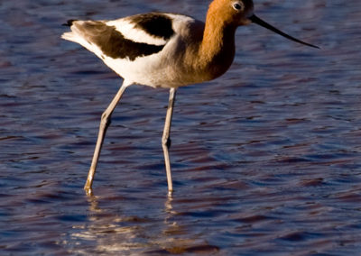 American-Avocet-White-Water-Az-8452