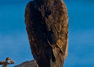 Bald-Eagle-Alaska_0121