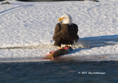 Bald-Eagle-Eating-Salmon-Coopers-Landing-Alaska