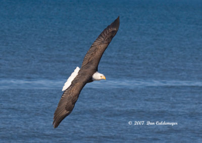 Bald-Eagle-Hunting