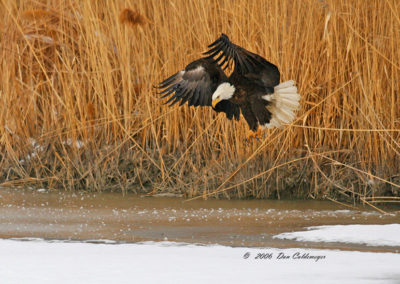 Bald-Eagle-Hunting-Farmington-Bay-Utah