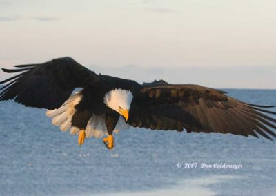 Bald-Eagle-Hunting-for-Fish