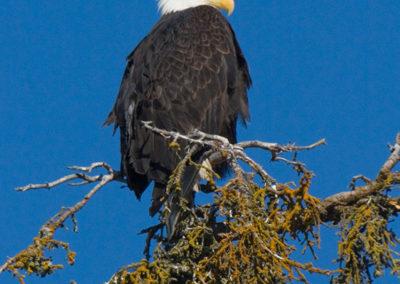 Bald-Eagle-Kenai-Alaska