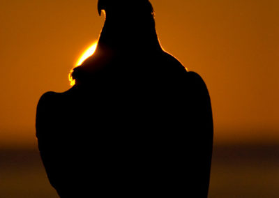 Bald-Eagle-Silhouette-In-The-Sunset