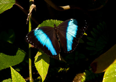 Banded-Morpho-Butterfly_7878