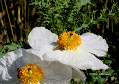 Bees-on-Prickly-Poppies-204
