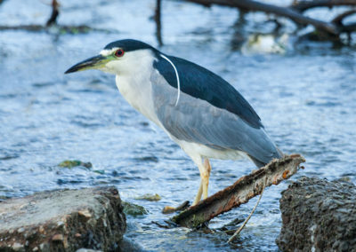 Black-Crowned-Night-Heron-0527