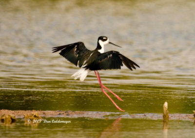 Black-Necked-Stilt-7724