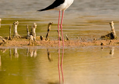 Black-Necked-Stilt-Reflection-7703
