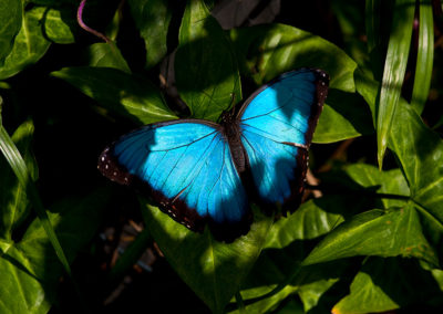 Blue-Morpho-Butterfly-2011_8037