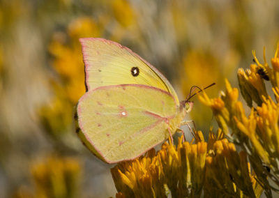 Cloudless-Sulphur-Butterfly-NM_0814