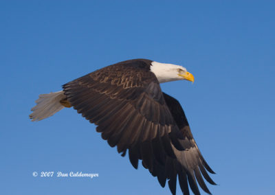 Eagle-Flying-Close-Up