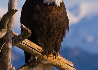 Eagle-Perched_0004