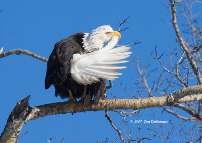 Eagle-Preening-Soldotna-6