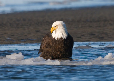 Eagle-Wading-in-Water