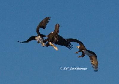 Eagles-Fighting-For-Fish-in-Mid-Air