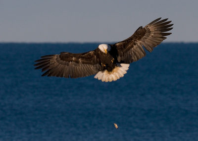 Getting-Ready-to-Catch-a-Fish-Dropped-by-Another-Eagle