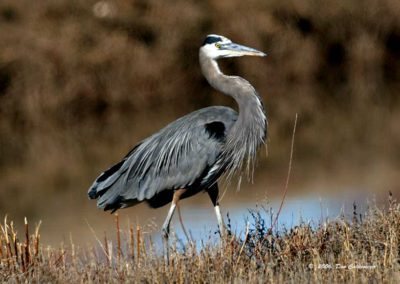 Great-Blue-Heron-#-5-Bosque-del-Apache
