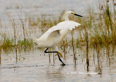 Great-White-Egret---Naples-FL_7819