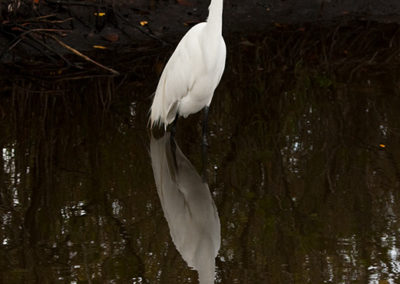 Great-White-Egret Naples Fl_7729