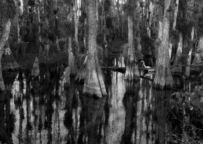 Great-White-Heron-Everglades_7011