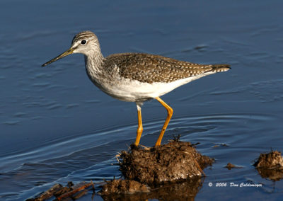 Greater-Yellowlegs-1-Bosque-del-Apache