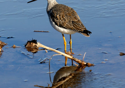 Greater-Yellowlegs-2-Bosque-del-Apache