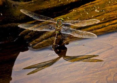 Green-Darner-Dragonfly_0395