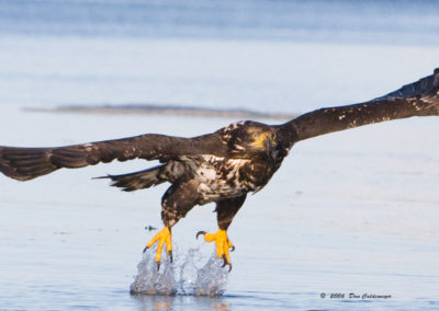 Immature-Bald-Eagle-Misses-Fish_0341