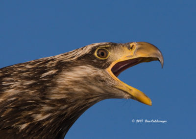 Immature-Bald-Eagle-Voicing-Opinion