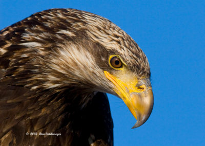 Immature-Bald-Eagle_0206