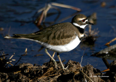Killdeer-Bosque-del-Apache-1