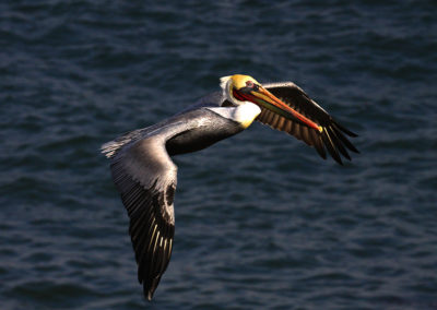 Male-Brown-Pelican-in-Flight-La-Jollia-Ca_6136